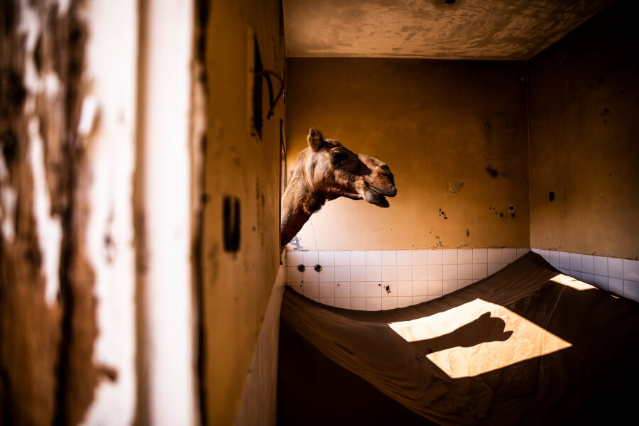 Camel Documentary Photography