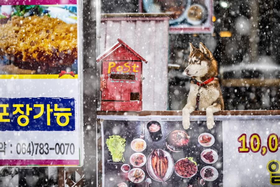 Snow And Dog South Korea Travel Photography